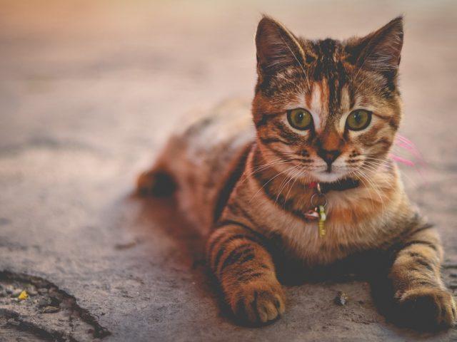 cat-1245673_960_720